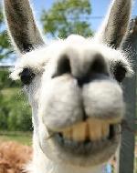 Llama's picture