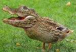 Crocoduck's picture