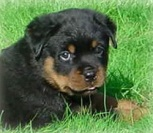 Dawkins Rottweiler's picture